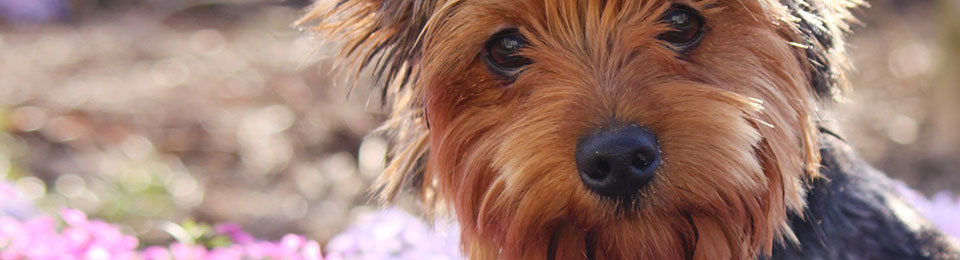 General Image - Dog Yorkie Left